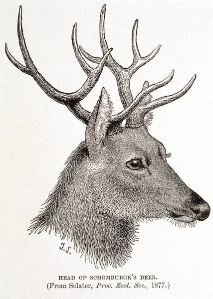 1894 Photograph - Schomburgk's Deer by George Bernard/science Photo Library