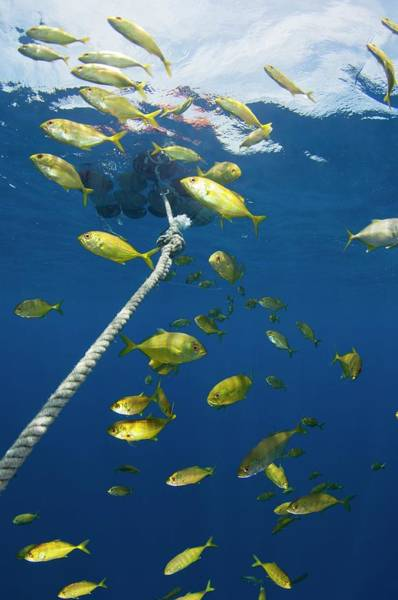 Trevally Photograph - School Around A Fish Aggregation Device by Scubazoo