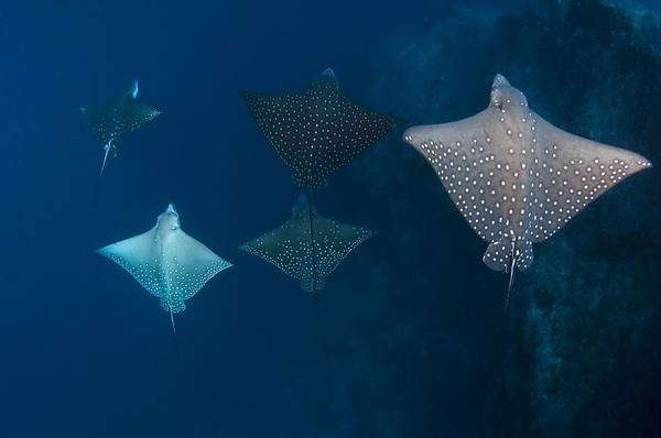 Eagle Ray Photograph - School Of Spotted Eagle Ray by Science Photo Library