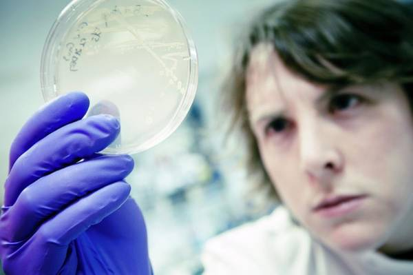 Colony Photograph - Scientist Examines A Petri Dish by Dan Dunkley/science Photo Library