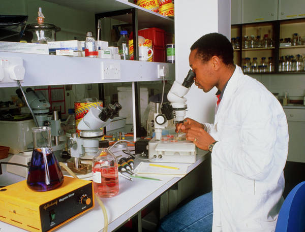 Researcher Wall Art - Photograph - Scientist Studying Parasitesunder A Microscope by Sinclair Stammers/science Photo Library