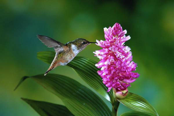 Selasphorus Photograph - Scintillant Hummingbird Selasphorus by Michael and Patricia Fogden