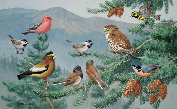 Pine Grosbeak Photograph - Scolding Birds Surround A Drowsy Pygmy by Walter A. Weber