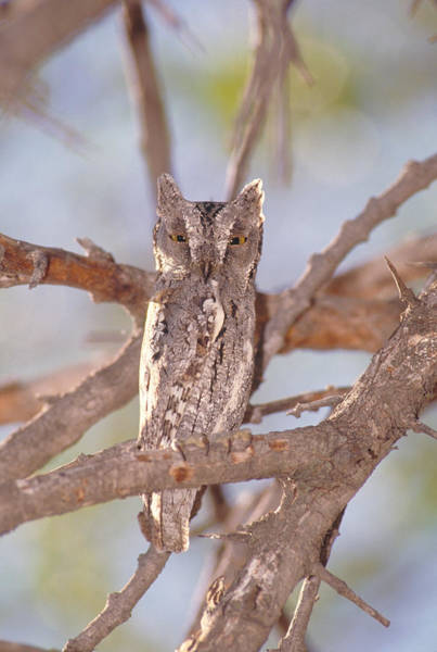 Photograph - Scops Owl by Gregory G. Dimijian