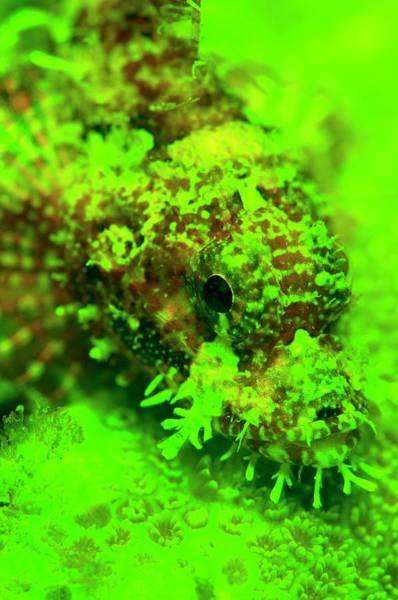 Wall Art - Photograph - Scorpion Fish And Coral Fluorescing by Louise Murray/science Photo Library