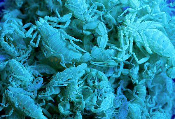 Blacklight Photograph - Scorpion Moultings Under Uv Light by Pascal Goetgheluck/science Photo Library