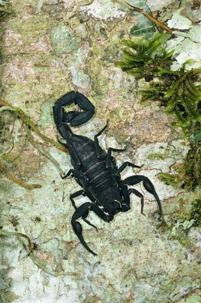 Chela Wall Art - Photograph - Scorpion On A Tree Trunk by Dr Morley Read/science Photo Library