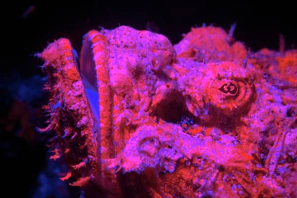 Fish Scales Photograph - Scorpionfish Fluorescing At Night by Louise Murray/science Photo Library