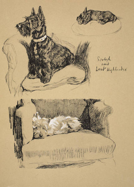 Dogs Drawing - Scotch And West Highlander, 1930 by Cecil Charles Windsor Aldin