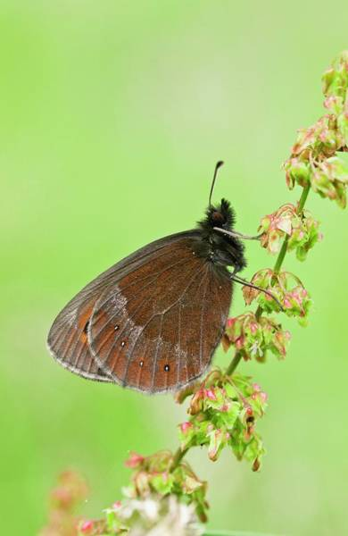 Angiosperms Wall Art - Photograph - Scotch Argus Butterfly On A Dock Plant by Bob Gibbons