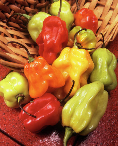 Scotch Wall Art - Photograph - Scotch Bonnet Peppers by Ray Lacey/science Photo Library