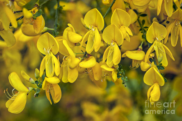 Photograph - Scotch Broom 3 by Arterra Picture Library