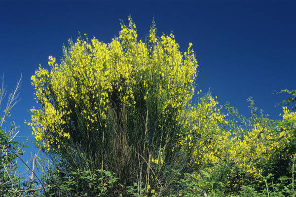 Broom Photograph - Scotch Broom by M F Merlet/science Photo Library