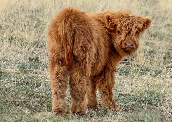 Photograph - Scotch Highland Calf by Dawn Key