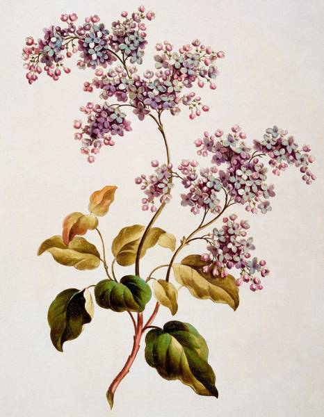 Blooming Tree Drawing - Scotch Lilac, Published 1793 by John Edwards