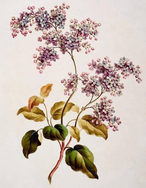 Scotch Lilac, Published 1793 Art Print