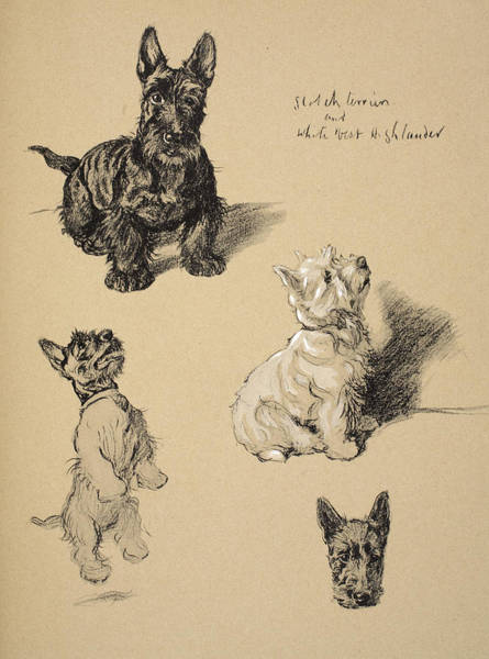 Fur Coat Drawing - Scotch Terrier And White Westie by Cecil Charles Windsor Aldin