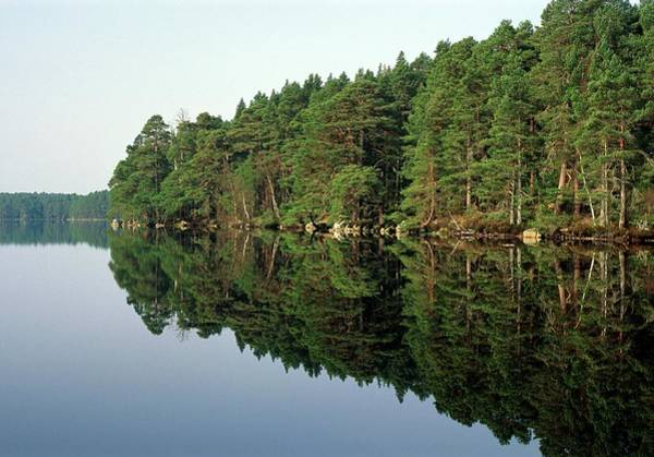 Garten Wall Art - Photograph - Scots Pine Forest by Duncan Shaw/science Photo Library
