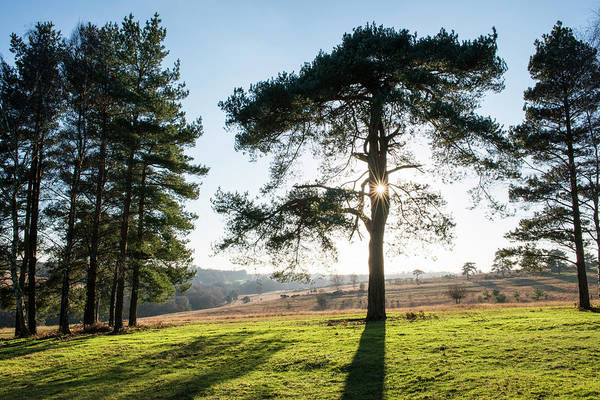 Pine Tree Photograph - Scots Pines And Heathland by James Warwick