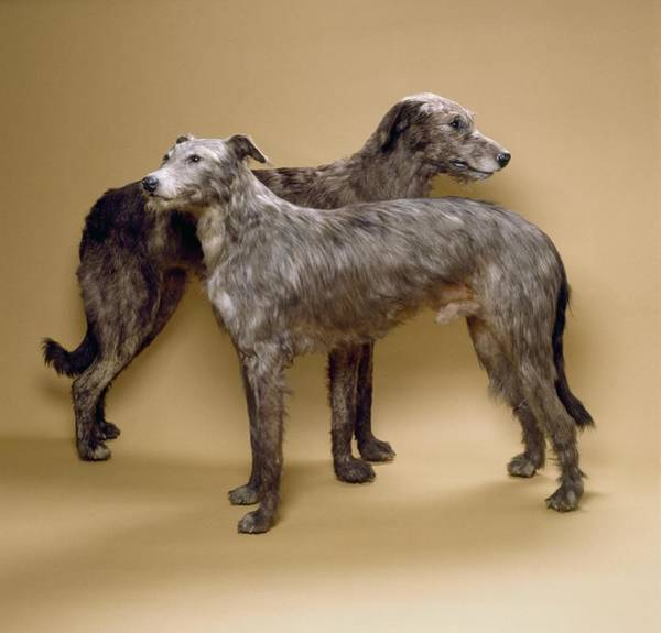 Breed Of Dog Photograph - Scottish Deerhounds, Stuffed Specimens by Science Photo Library