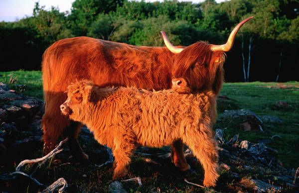 Skane Photograph - Scottish Highland Cattle Cow With Calf by Anders Blomqvist