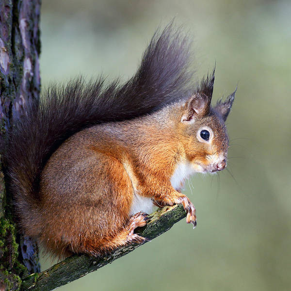 Photograph - Scottish Red Squirrel by Grant Glendinning