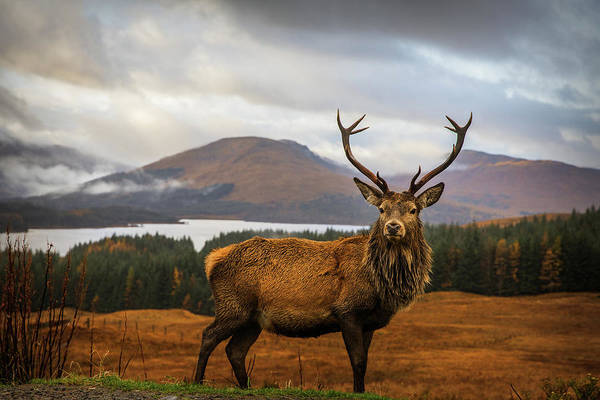 Wall Art - Photograph - Scottish Stag by Adrian Popan