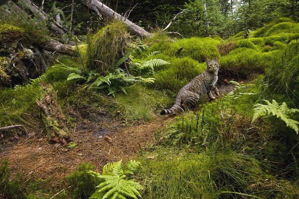 Felidae Wall Art - Photograph - Scottish Wildcat And Domestic Cat by Sebastian Kennerknecht