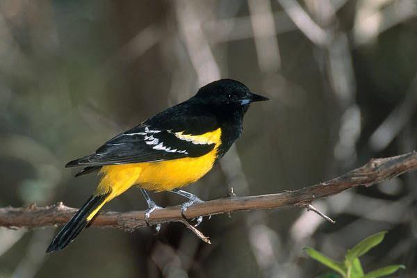 Coronado National Forest Photograph - Scotts Oriole by Gerald C. Kelley