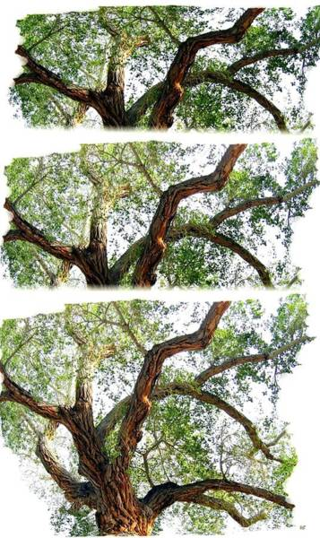 California Oak Digital Art - Scotty's Castle Oak Tree by Will Borden