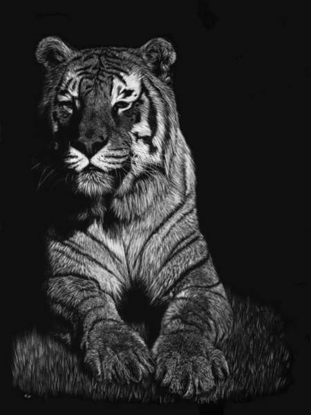 Bengal Tiger Drawing - Scout by Heather Ward