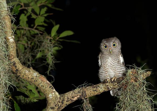 Screech Owl Photograph - Screech Owl Fledglings, Otus Asio by Maresa Pryor