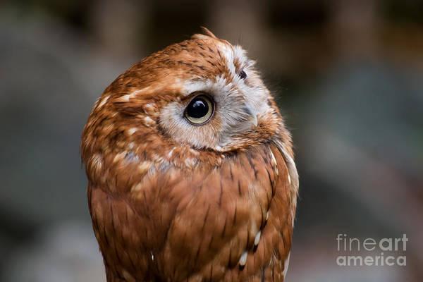 Photograph - Screech Owl by Jill Lang