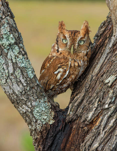 Wall Art - Photograph - Screech Owl by Michael Lustbader