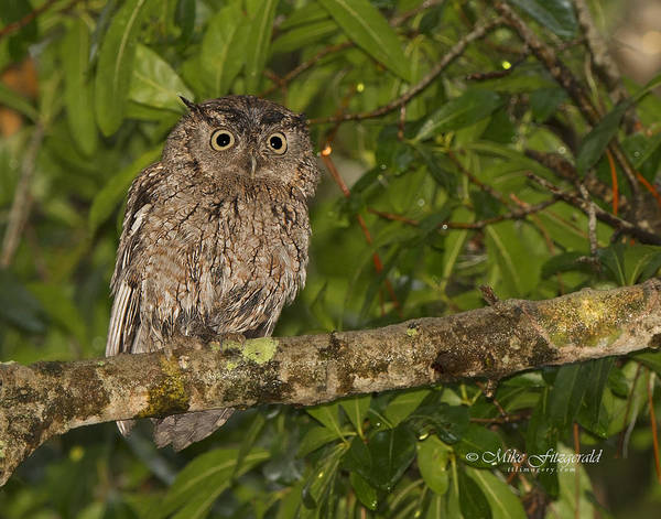 Photograph - Screech Owl by Mike Fitzgerald