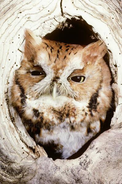 Wall Art - Photograph - Screech Owl Otus Asio by Jeffrey Lepore