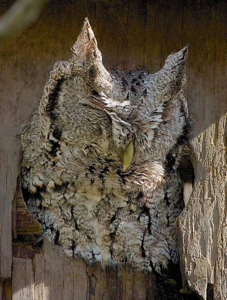 Photograph - Screech-owl by Stuart Litoff