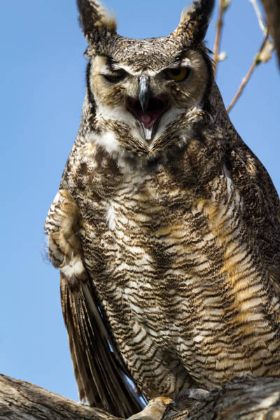 Photograph - Screeching Great Horned Owl by Teri Virbickis