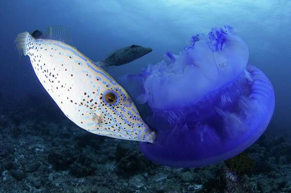Wall Art - Photograph - Scribbled Filefish by Scubazoo/science Photo Library
