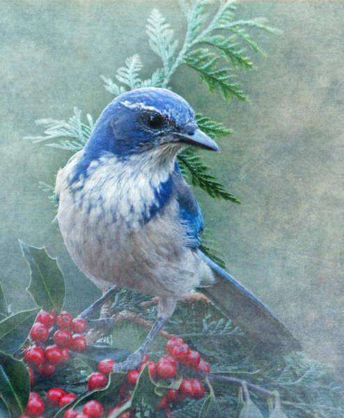 Scrub Photograph - Scrub Jay Christmas by Angie Vogel