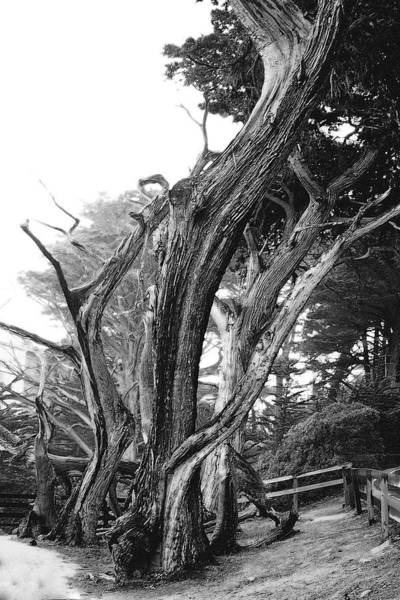 Photograph - Sculpted Cypress by Melinda Ledsome