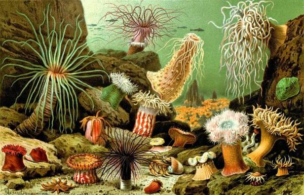 Digital Art - Sea Anemones Actiniaria Water Lilies Seenelken by Movie Poster Prints