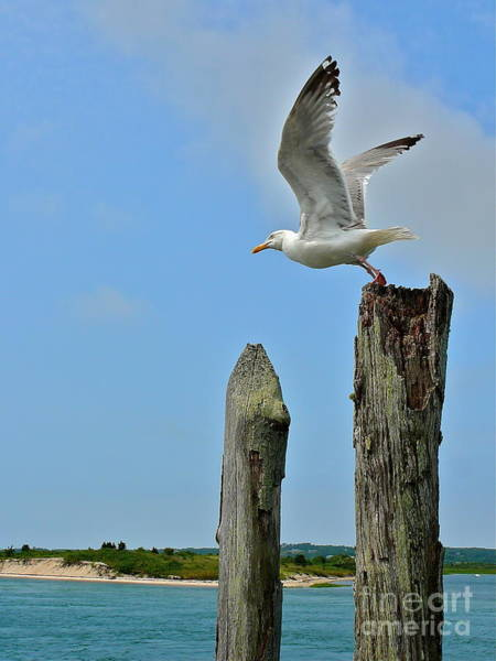 Squid Row Photograph - Sea Gull Takes Flight by Matt Dana