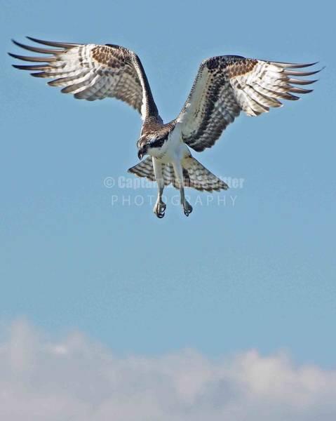 Encounter Bay Photograph - Sea Hawk 2 by Captain Debbie Ritter
