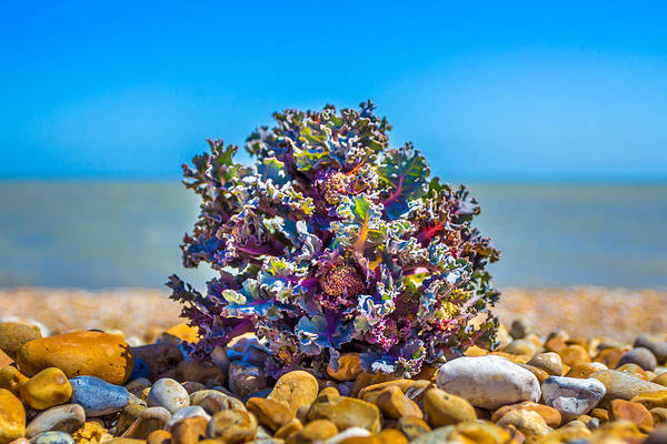 Photograph - Sea Kale. by Gary Gillette