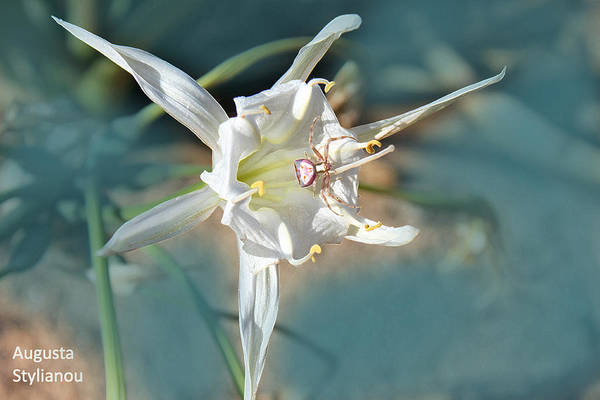Photograph - Sea Lily by Augusta Stylianou