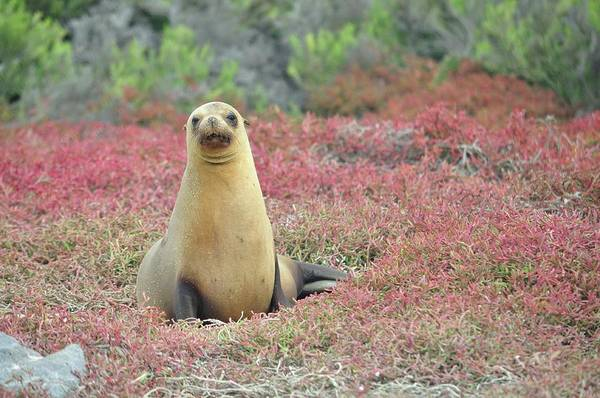 North Seymour Island Photograph - Sea Lion On Red Sea Grass by Rhonda Gutenberg