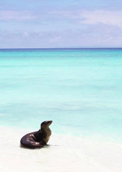 Wall Art - Photograph - Sea Lion On White Sand Beach by Chris Caldicott