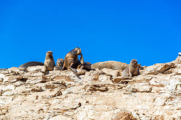 Dama Dama Photograph - Sea Lions On A Rock by Jess Kraft