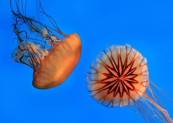 National Aquarium Photograph - Sea Nettles by Lori Deiter